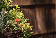 Flowering succulent cactus on a rustic background Royalty Free Stock Photography