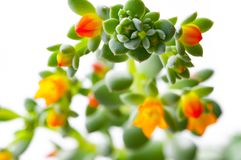 Close-up Succulent flower isolated. The flowering Succulent plant. beauty in nature royalty free stock photos