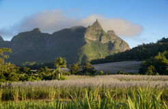 Flowering sugar cane fields with Pieter Both mountain from Mauritius  Royalty Free Stock Image