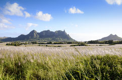 Flowering sugar cane fields with Pieter Both mountain from Mauritius  Stock Photography