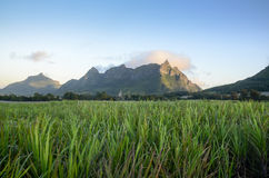 Flowering sugar cane fields with Pieter Both mountain from Mauritius  Royalty Free Stock Photos