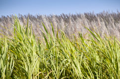 Flowering sugar Cane from Mauritius. Flowering sugar Cane just before the harvest, Mauritius royalty free stock photos