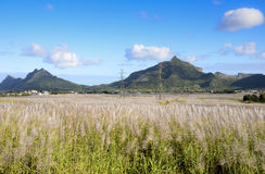 Flowering sugar Cane from Mauritius. Flowering sugar Cane just before the harvest, Mauritius royalty free stock images