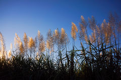 Flowering Sugar Cane plumes. Fluffy sugar cane plumes at sunset against blue sky Royalty Free Stock Photos