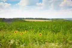 Flowering summer field Royalty Free Stock Photos