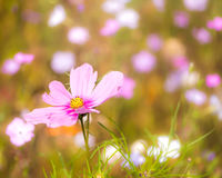 Flowering summer meadow royalty free stock image