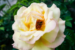 Flowering summer rose in bud Royalty Free Stock Photo