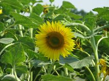 Sunflower and bee. Flowering sunflower in the field and bee on them Stock Photography