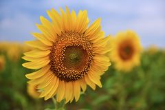 Flowering Sunflower Royalty Free Stock Images