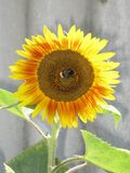 Sunflower and bumblebee Royalty Free Stock Photos
