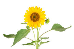 A flowering sunflower Royalty Free Stock Photos
