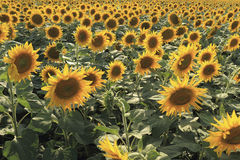 Flowering sunflowers on a farm in summer day Stock Photo