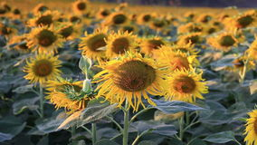 Flowering sunflowers on a hill background stock video footage