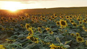Flowering sunflowers on a hill background stock footage