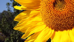 Flowering Sunflowers Royalty Free Stock Photos