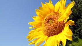 Flowering Sunflowers Stock Photo