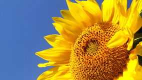 Flowering Sunflowers Royalty Free Stock Photography