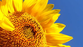 Flowering Sunflowers Stock Image
