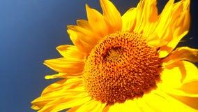 Flowering Sunflowers Royalty Free Stock Image