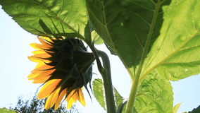 Flowering Sunflowers Royalty Free Stock Images