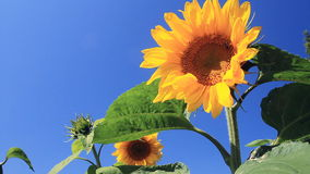Flowering Sunflowers Stock Photography