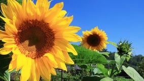 Flowering Sunflowers Royalty Free Stock Photo