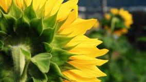 Flowering Sunflowers Stock Photos