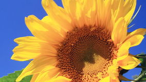 Flowering Sunflowers Stock Images