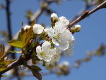 Flowering sweet cherry branch. Beautiful flowers of sweet cherry tree in early spring Stock Photos