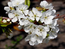 Flowering sweet cherry branch. Beautiful flowers of sweet cherry tree in early spring Royalty Free Stock Image