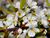 Flowering sweet cherry branch. Beautiful flowers of sweet cherry tree in early spring Royalty Free Stock Photography
