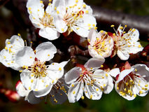 Flowering sweet cherry branch. Beautiful white flowers of sweet cherry tree in early spring Stock Image