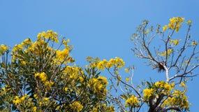 Flowering Tabebuia aurea. Tabebuia aurea and blue sky Stock Photos