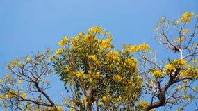 Flowering Tabebuia aurea. Tabebuia aurea and blue sky Stock Photography