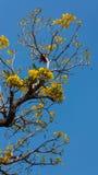 Flowering Tabebuia aurea. Tabebuia aurea and blue sky Royalty Free Stock Images