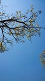 Flowering Tabebuia aurea. Tabebuia aurea and blue sky Stock Images