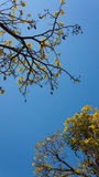 Flowering Tabebuia aurea. Tabebuia aurea and blue sky Royalty Free Stock Photography