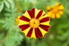Flowering Tagetes. Royalty Free Stock Photography