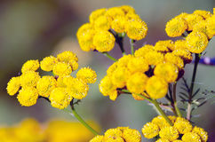 Flowering tansy plant Royalty Free Stock Image