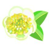 Flowering tea bush Camellia Chinese. vector illustration. Flowering tea bush Camellia Chinese vector illustration Stock Photo