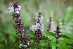 Flowering Thai Basil royalty free stock photo