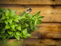 Flowering thai basil in pot Stock Photos