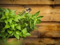 Flowering thai basil in pot Stock Photos