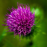Flowering Thistle Stock Images
