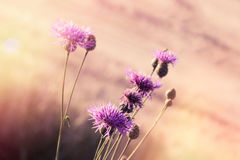 Flowering thistle burdock - beautiful flowering, blooming wild flower. In meadow lit by sunlight Royalty Free Stock Image