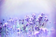 Flowering thistle lit by sunlight Royalty Free Stock Photo
