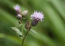 Flowering thistles Stock Photography
