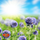Flowering thistles and butterfly Stock Images