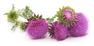 Flowering thistles. Royalty Free Stock Photography