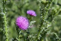 Flowering thorny thistle. royalty free stock images
